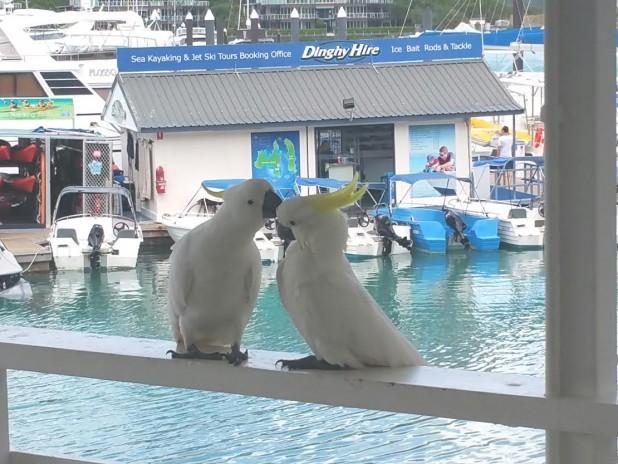 love birds hamilton island